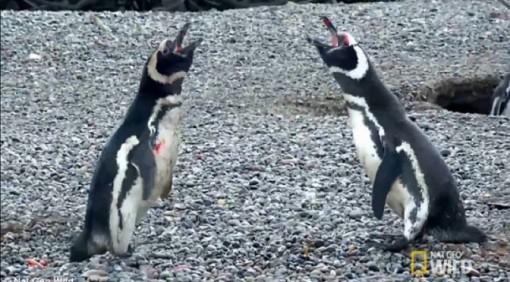 penguins-fight