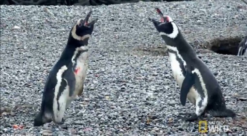 penguins-fight